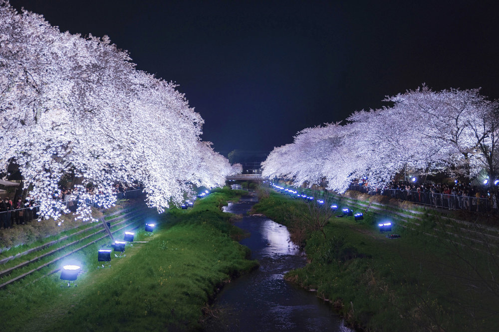Illuminated cherry blossoms in Nogawa during their light-up event.