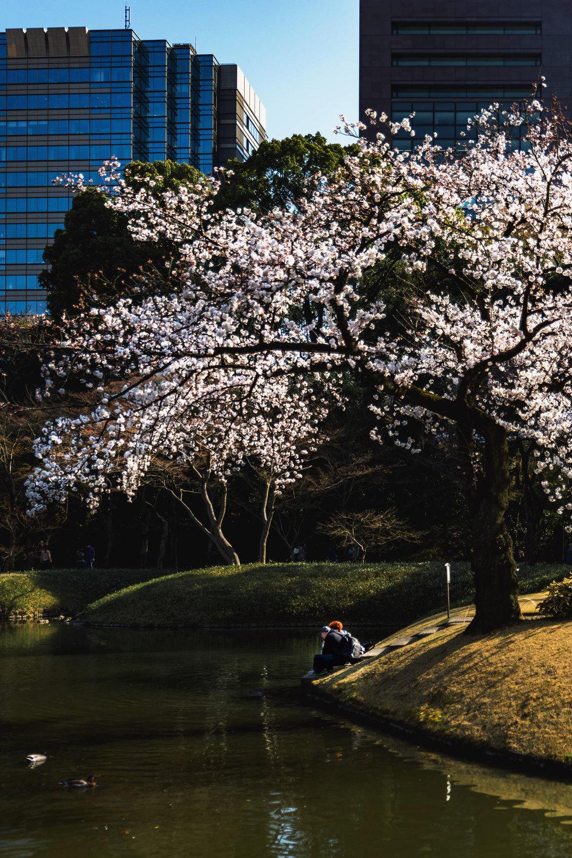 A couple enjoys the view under cherry blossoms at Koishikawa Korakuen Garden