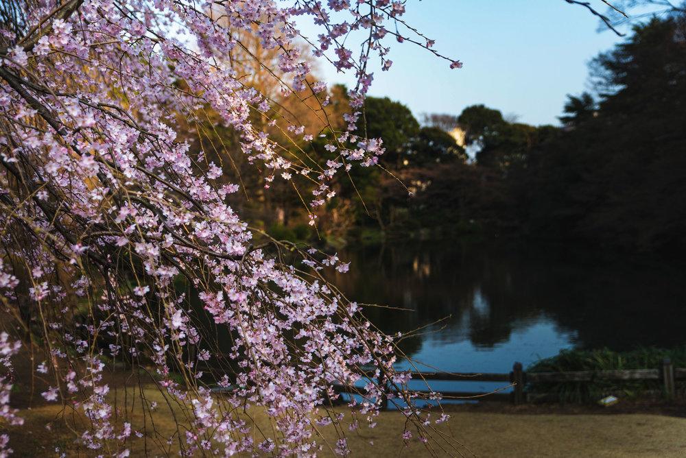 Cherry blossoms hanging near a lake in Shinjuku Gyoen Park
