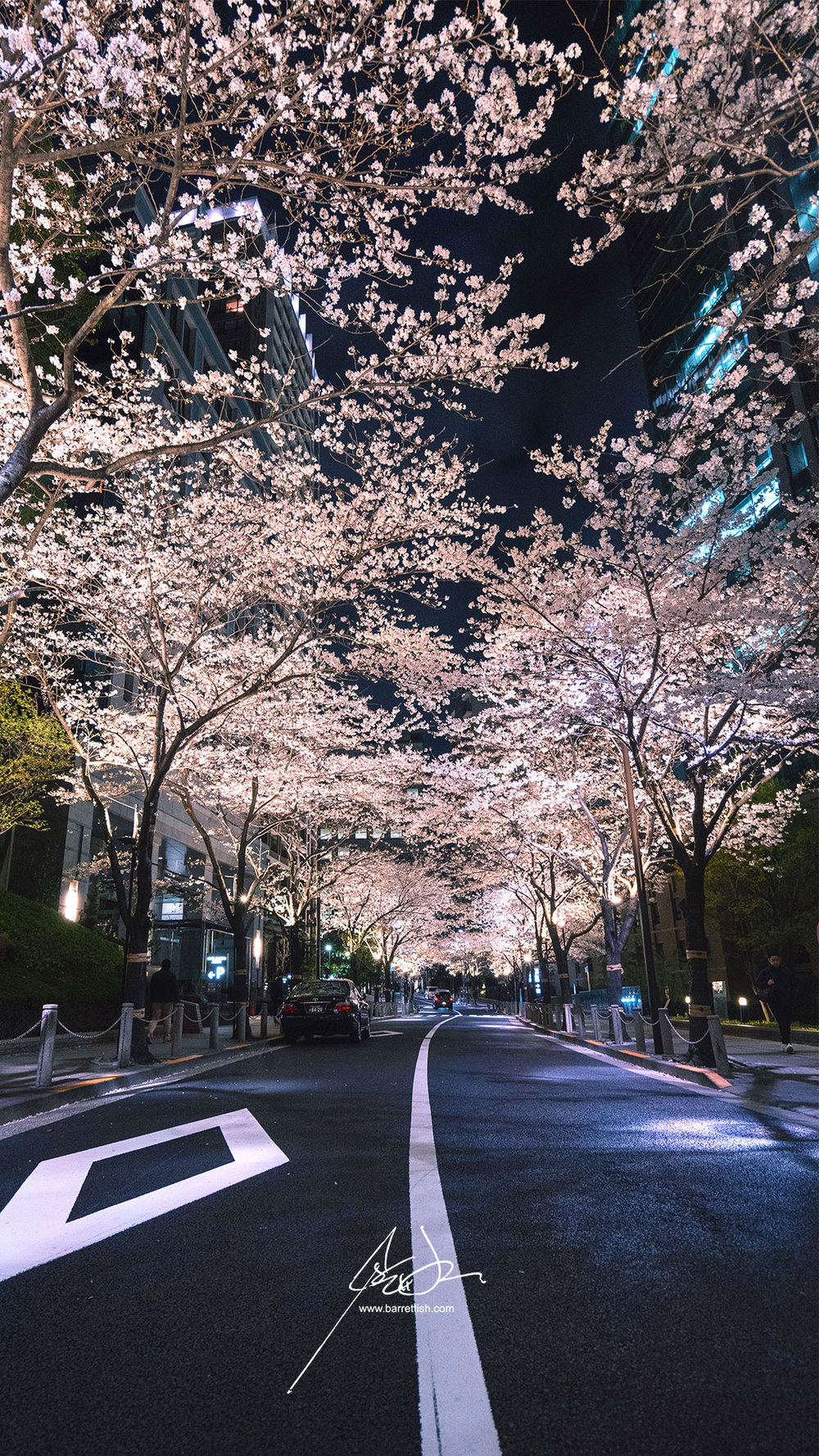 Illuminated cherry blossoms along the quiet streets around Ark Hills, Tokyo   DOWNLOAD