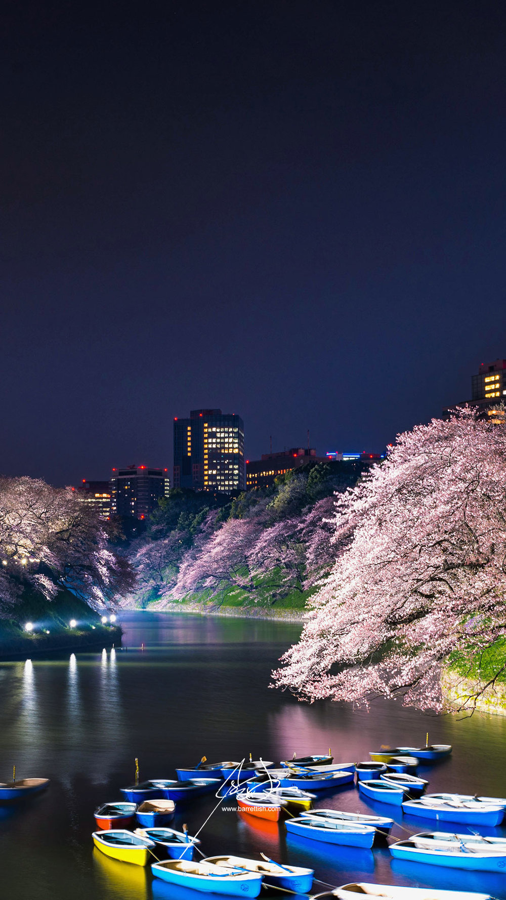 Cherry blossoms hanging over Chidorigafuchi in Tokyo   DOWNLOAD