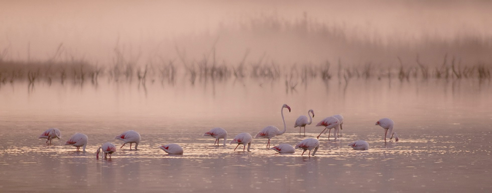 Flamingos in the lagoon of Gialova