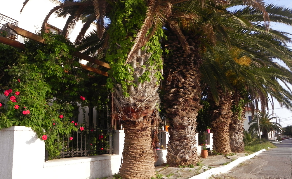Ulysses palm trees