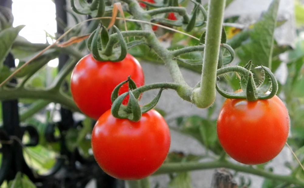 Ulysses tomatoes .jpg