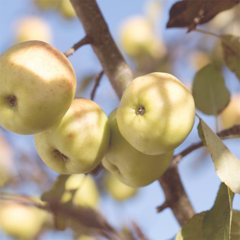 Apples yellow _ Unsplash free_800p.jpg