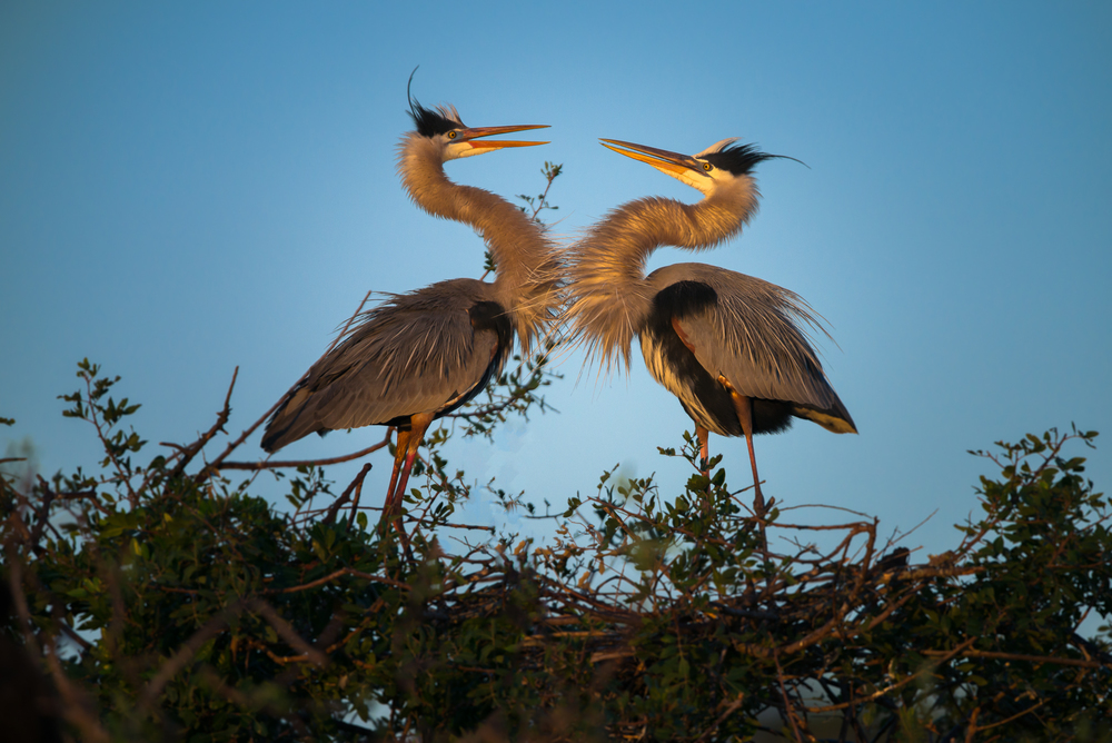 Great Blue Herons Courting at Nest_.JPG