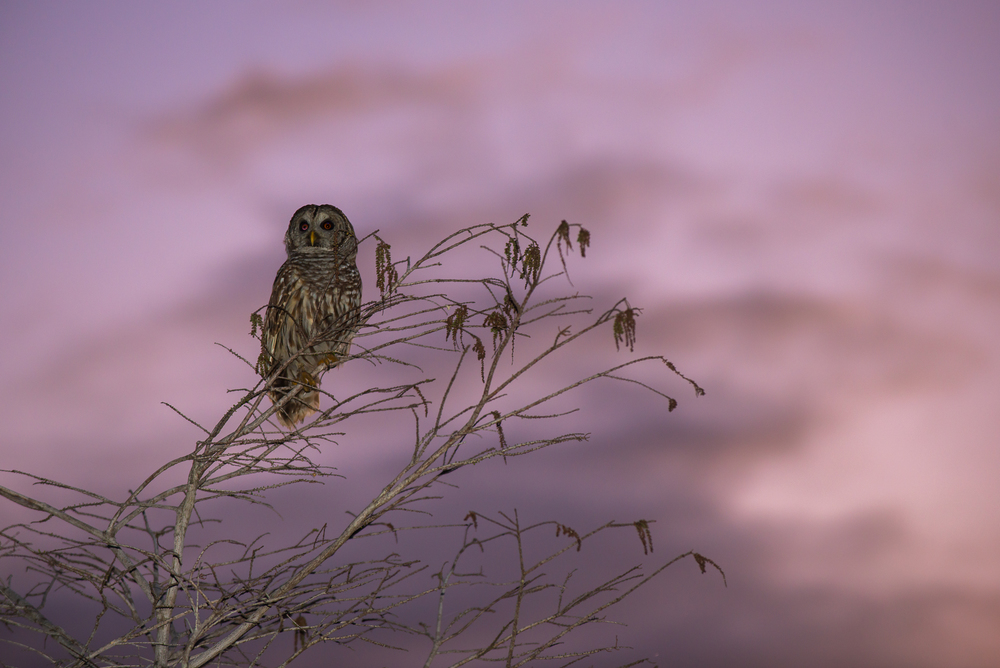 grey owl and twilight sky everglades national park.JPG