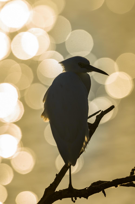 snowy egret venice rookery florida.jpg