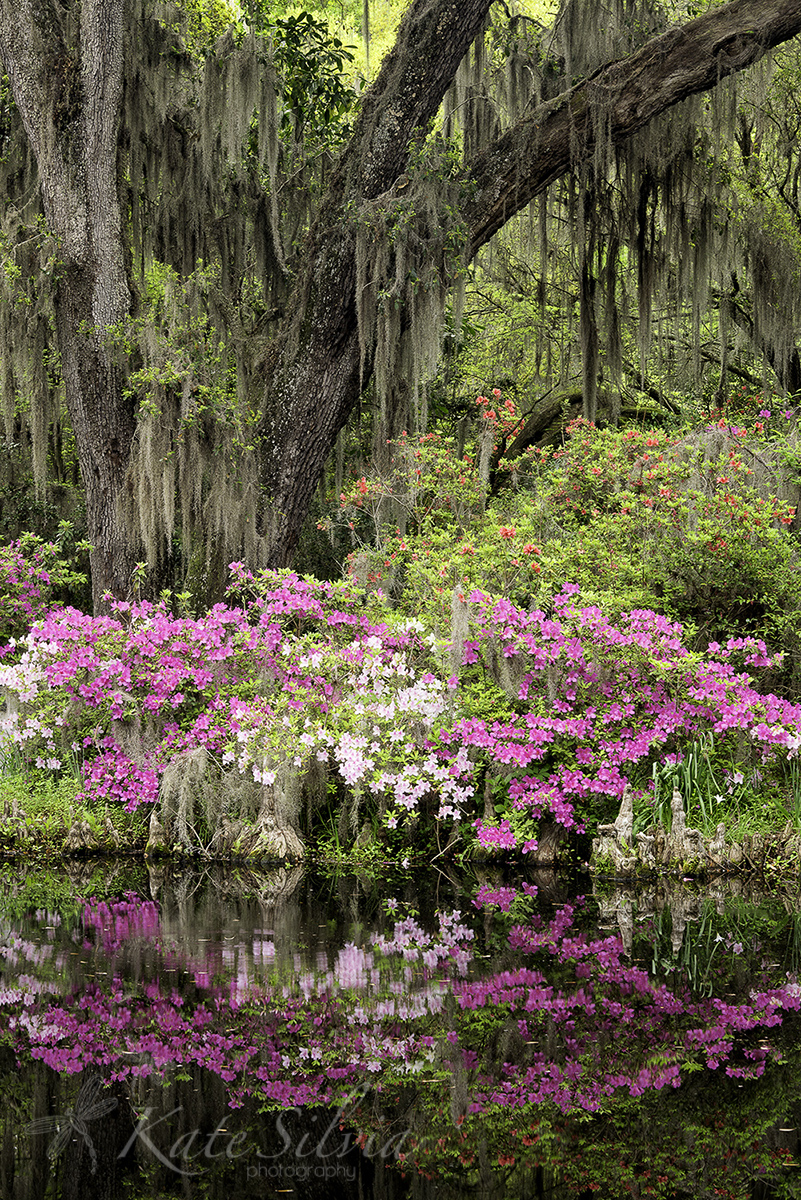 Magnolia+2015+Live+Oak+and+Azaleas+reflection.jpg