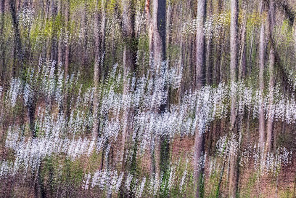 dogwood-dance.jpg