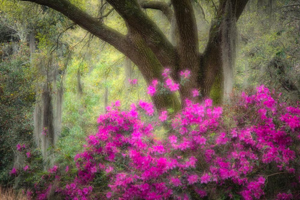 Azalea & Live Oak, Magnolia Plantation