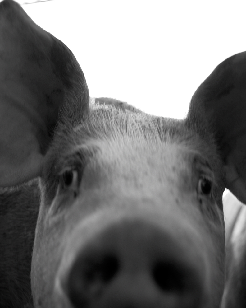 The inquisitive pig at Dominique Chapolard's farm in Gascony, France.