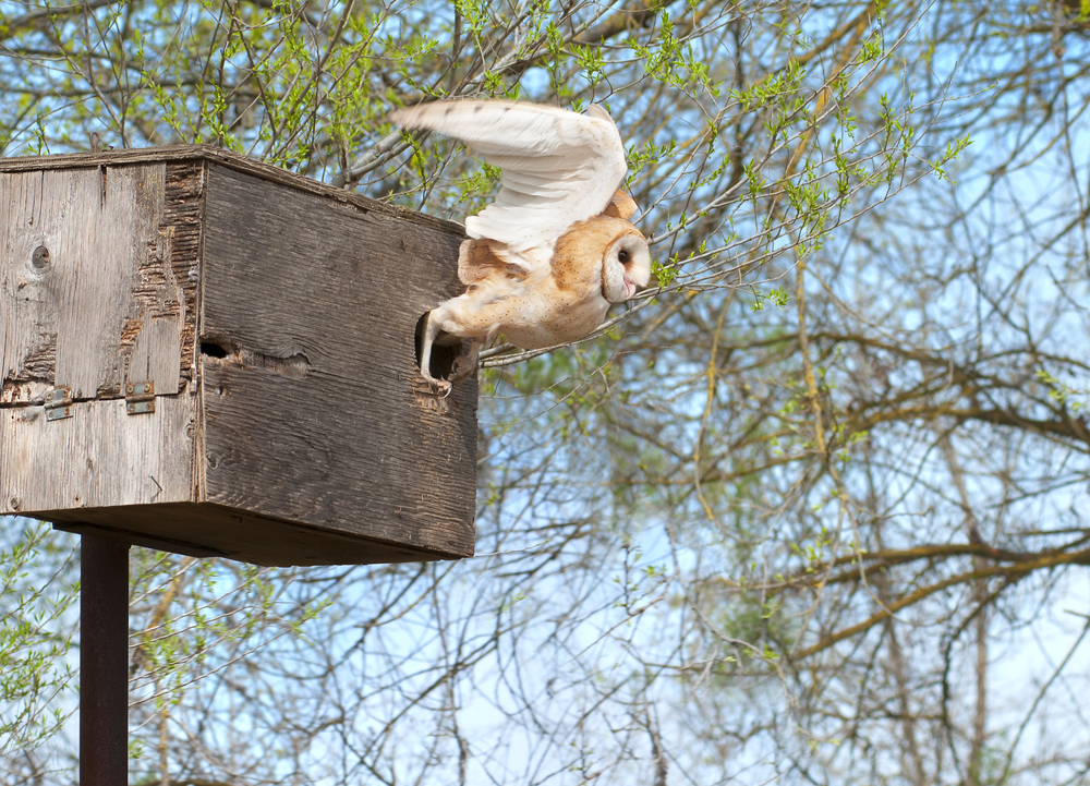 A male Barn Owl takes flight from its old and weathered box.