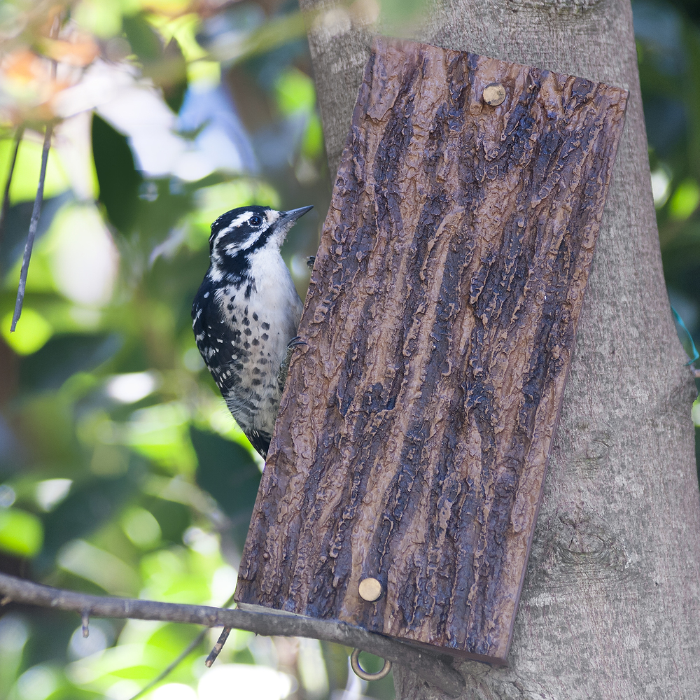 Female Nuttall's Woodpecker enjoying suet at a sandwich feeder in Brentwood.