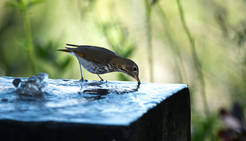 Hermit Thrush enjoying a late afternoon drink.