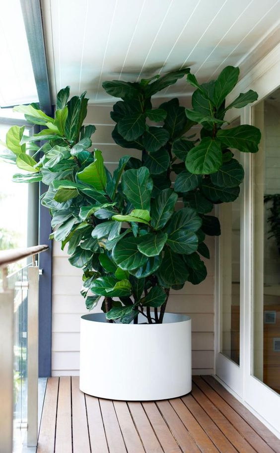 Great Long And Found: Planting A Fiddle Leaf Fig