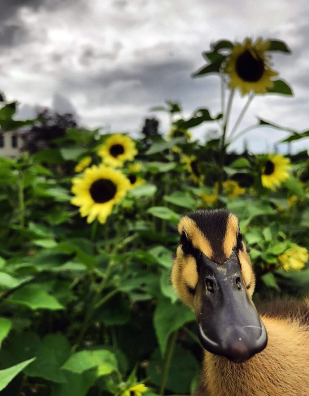 photo by  Longest Acres in Vermont.  Kate Maclean shares her life thru the most beautiful and moody photos. I saw this one today and couldn't help but share it with you. At first I could not make out the duck. And then I though oh wow, those stripes on his head with the butter yellow sunflowers behind him, I want to hug him! Enjoy the sunflowers while they last!