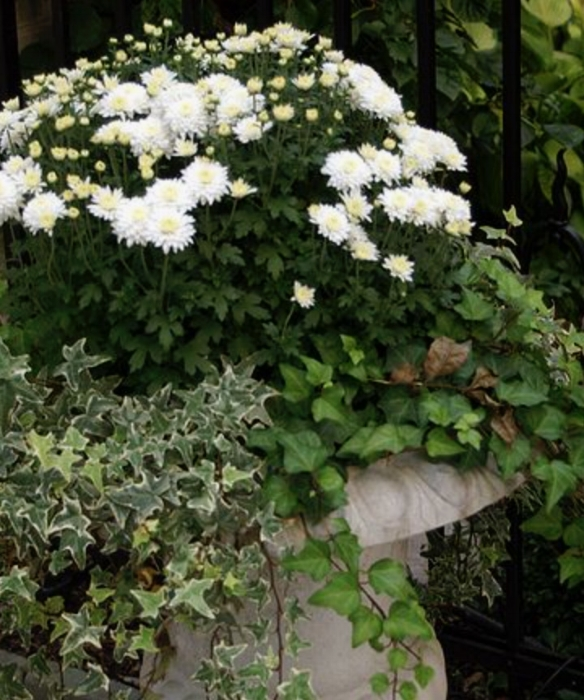 white mums and 2 different types of ivy.