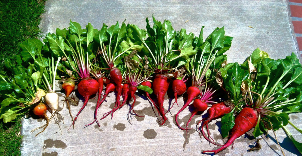 One summer crop of beets from my garden.  They were MASSIVE!
