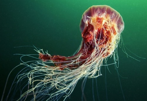 worldlyanimals :      Jellyfish (  Alexander Semenov )