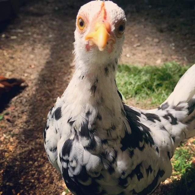 Petunia posing. #meetmychickens #petunia