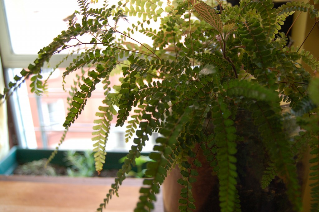 Maidenhair Fern - if you look closely, some of the leaves have spores on them