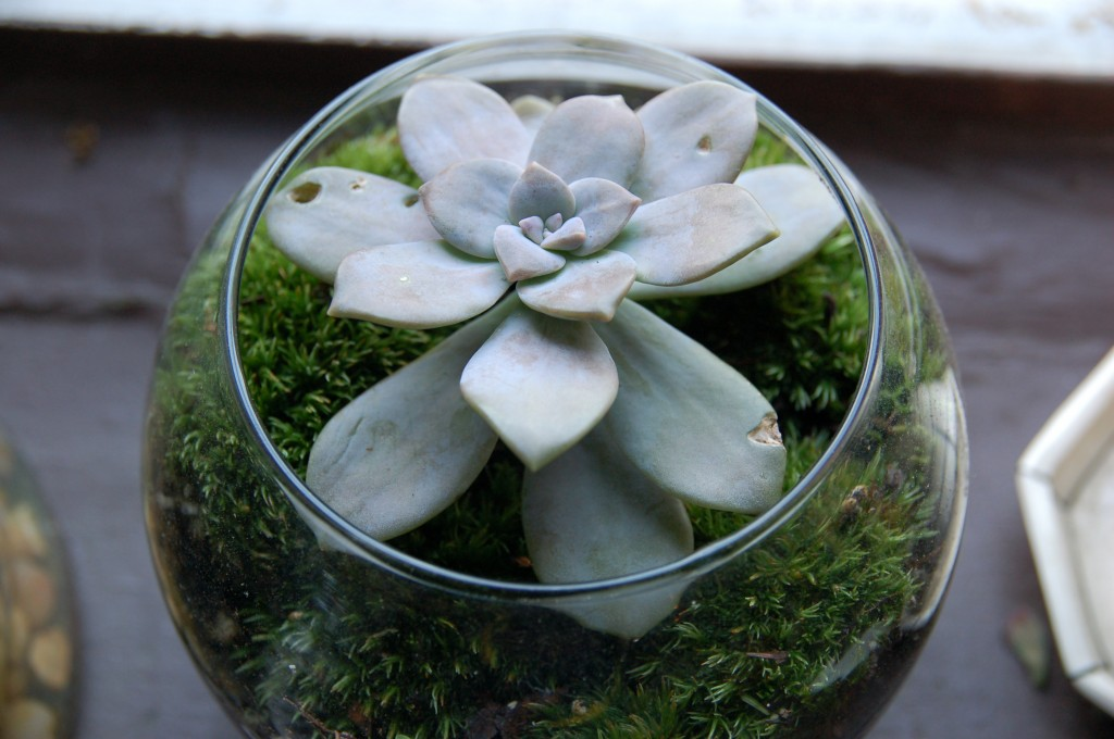 Succulent in a fishbowl with moss I collected while camping in the catskills