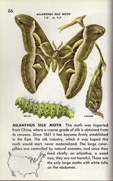 "The Ailanthus Silk Moth, from my handy ""Insects: A Guide to Familiar American Insects,"" published in 1951."