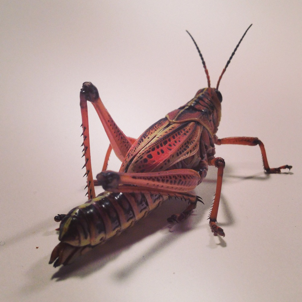 Earlier this spring, we did an episode with these gorgeous Lubber Grasshoppers, who were a joy to work with once we managed to get them to hop on camera.