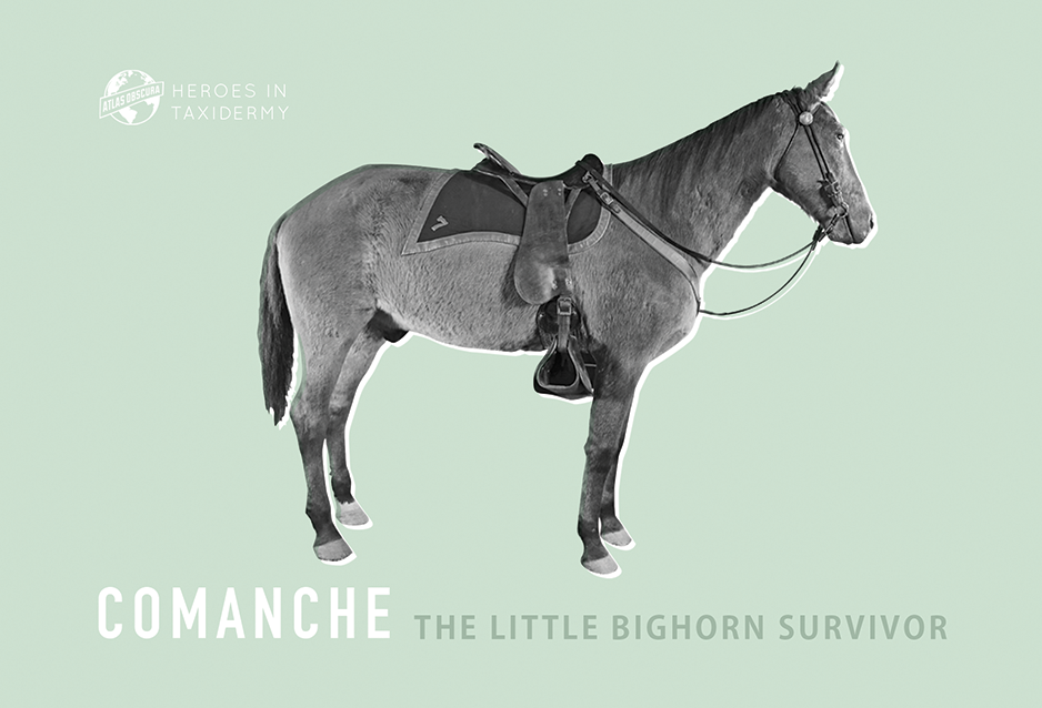 Comanche, The Little Bighorn Survivor