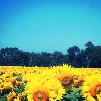 sunflowerslider1.jpg
