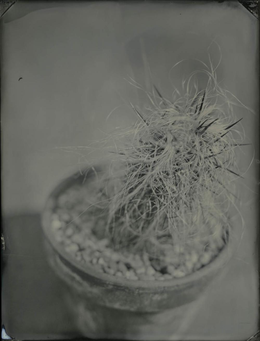 oreocereus celsianus.jpg