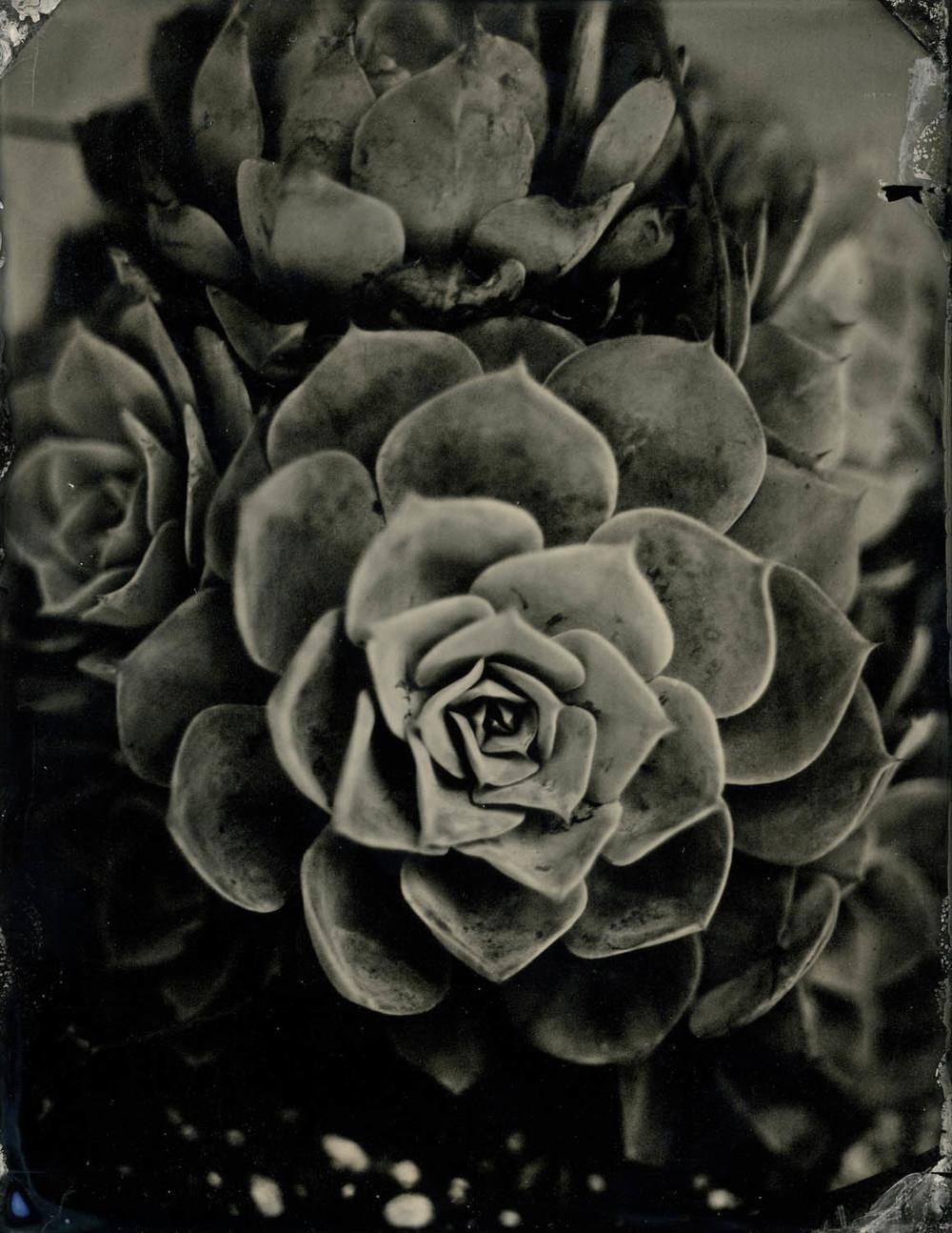 rose succulent 2372.jpg