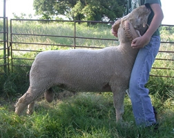 This is a ram we kept out of the Clark Ram (left). We are excited about the potential of his progeny.