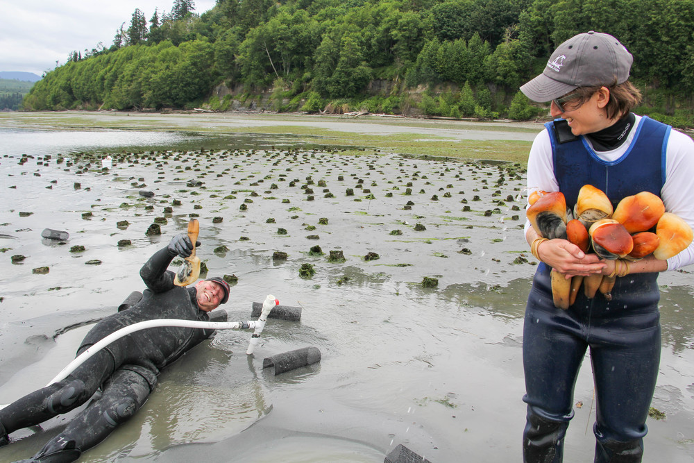 Photo by Helen Gunn. The author cradles a bouquet of geoducks as farmer Frank harvests yet another.