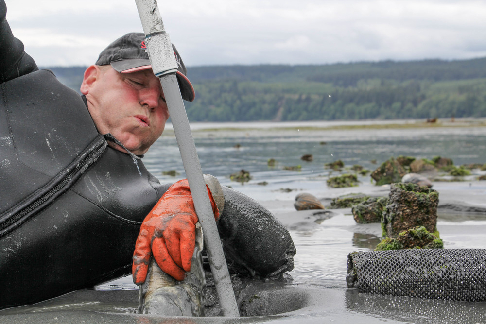 Photo by Bonnie Obremski. Frank raced against the tide to wrest geoducks free of the nets where he had planted them five years earlier.