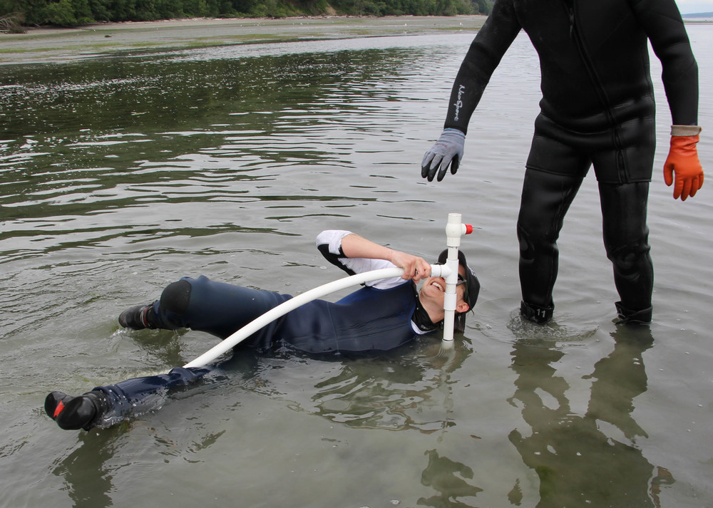 Photo by Helen Gunn. The author attempts to nab a geoduck at the end of the hunt, as the tide envelops the farm.