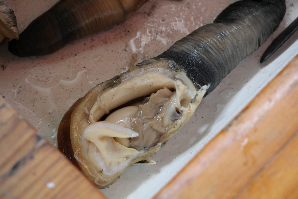 Photo by Bonnie Obremski. A shell-less geoduck.