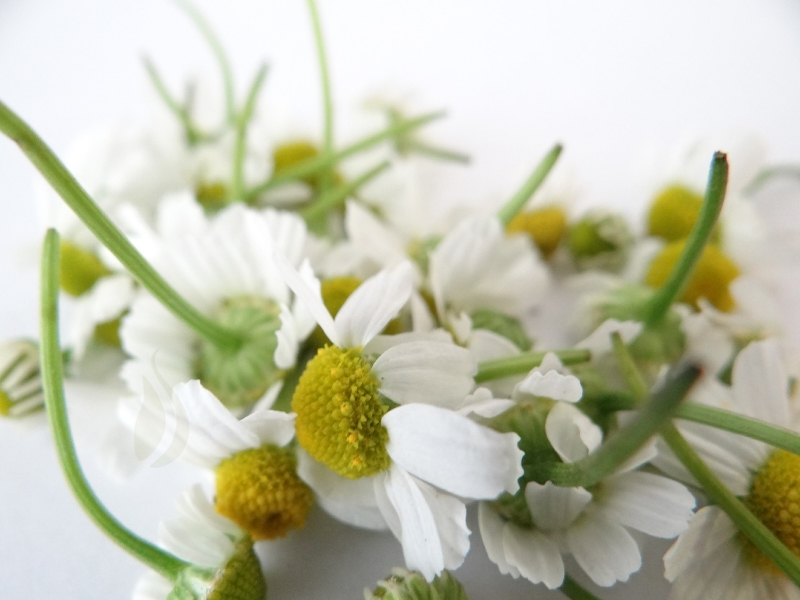 our chamomile has all been harvested for the season. home grown organic german chamomile is unlike any chamomile you can buy in the store or bulk.