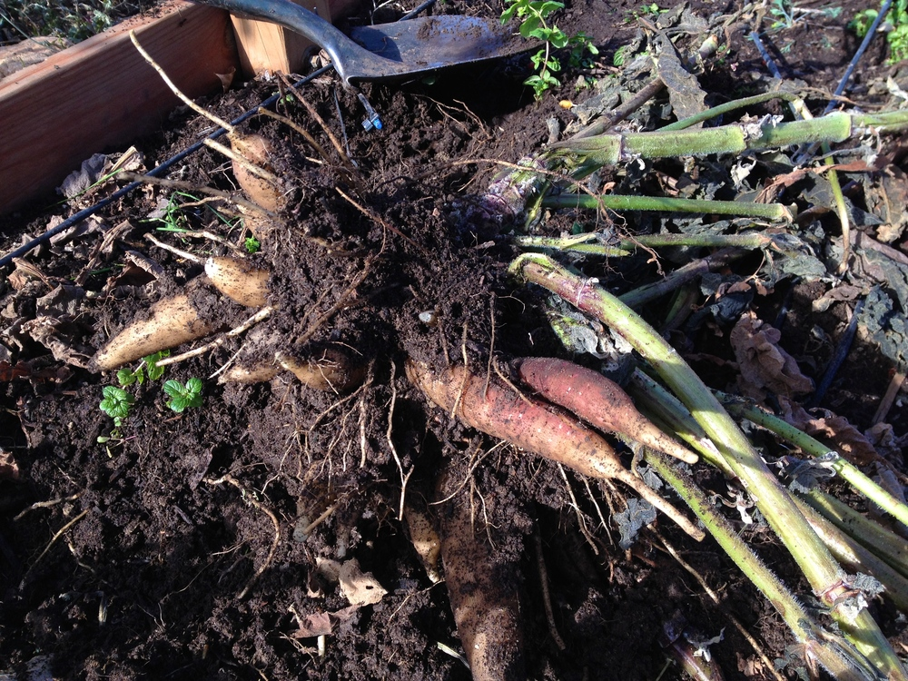 a yacon plant dug up. the tubers are quite large, a full-sized shovel beside it for scale.