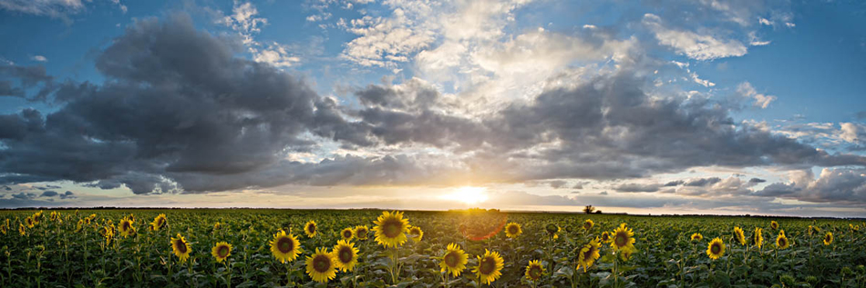 Donmeyer Road Sunflowers