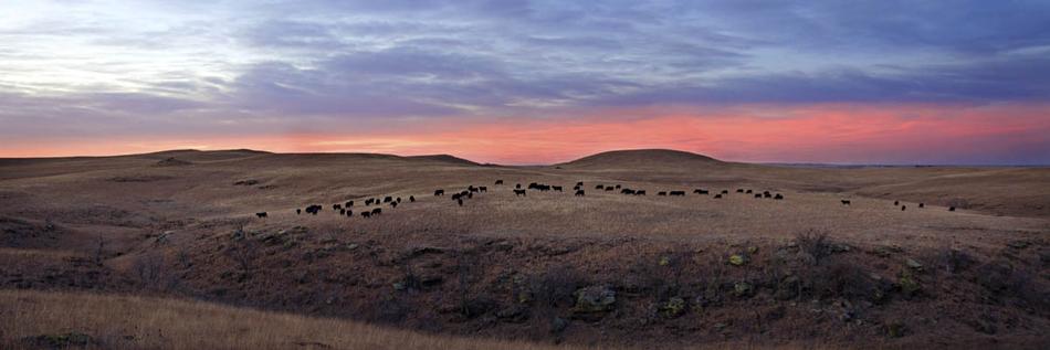 Hills, Cattle, Dusk