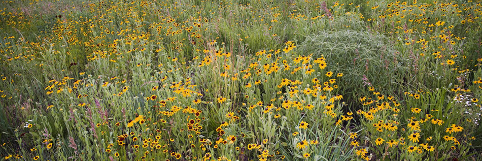 Prairie Flowers 7