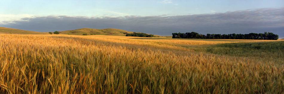 Wheat 3