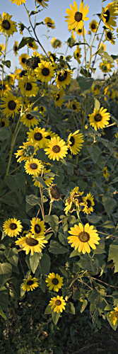 Sunflower 7