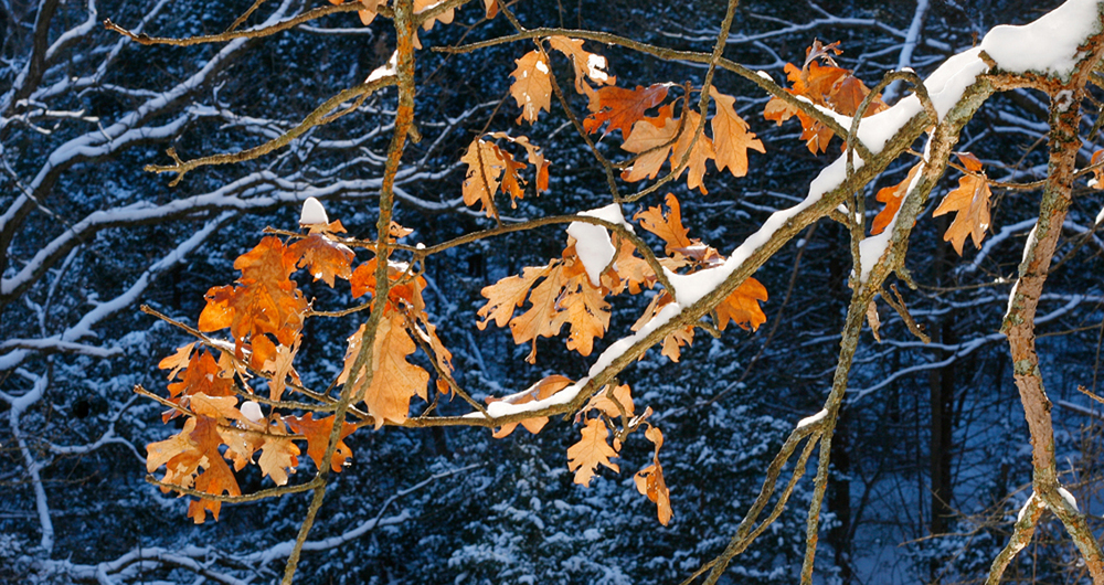 Illuminated Oak Leaves in Snow