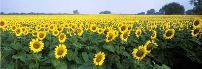Sunflowers Panoramic