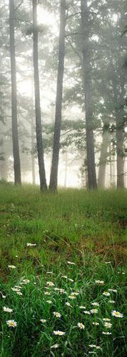Scroll-Flowers, Pines, Fog