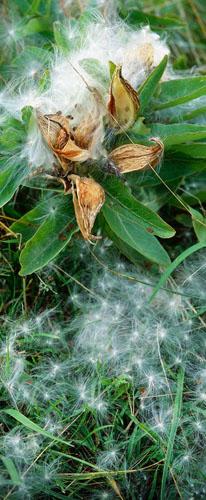 Scroll-Milkweed