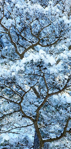 Scroll-Snowy Pine Branches